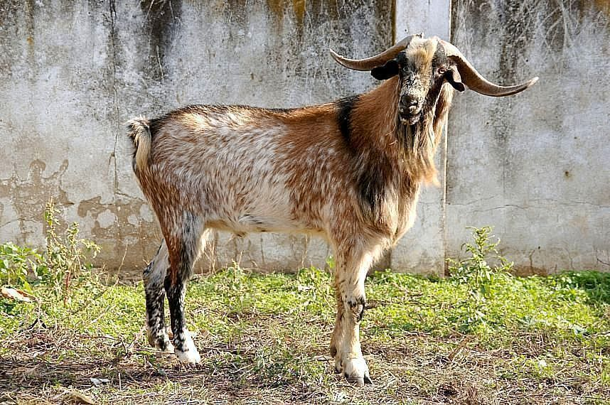 Cabra Payoyo Magrama